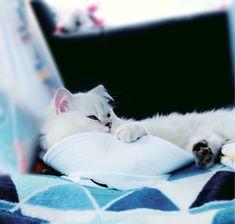 ฐานทับมอลเอง Salmon Cat, Cats, Animals, Gatos, Animales, Kitty Cats, Animaux, Animal Memes, Cat Breeds