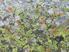 Stone lav lichen