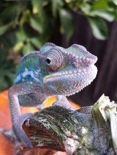 Panther  Chameleon Prizma