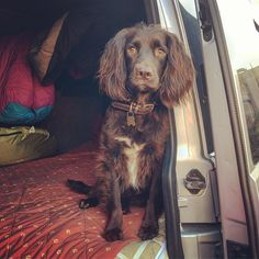 Beast jumped in the van while I was unpacking. Someone wants to go camping maybe? - #travelshooteditrepeat #lifeasaphotographer #xphotographer #dogs #dogsofinstagram #dogstagram #sprocker #spaniel #campingwithdogs #link