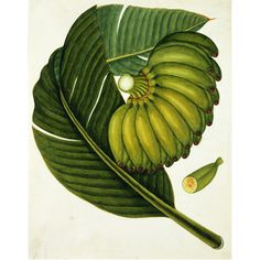 Love botanical drawings - A large bunch of unripe green bananas. Watercolour. Guangzhou, China, c.1800 © Victoria & Albert Museum/V Prints.