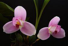 lycaste Orchid species | Lycaste Chita Sunset × Lycaste skinneri by GenaJog