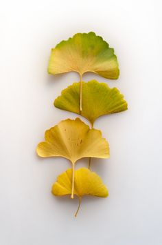 Gallery Direct Fine Art Prints: 134445287 by Getty Ginkgo, Gingko Leaf, Fall Clip Art, Temple Gardens, Australian Native Flowers, Leaf Photography, Yellow Leaves, Leaf Art, Green Rose