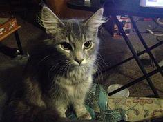 Lost Maine Coon Kitten