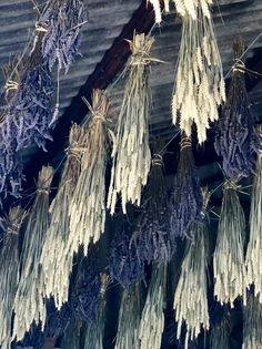 Bunches of drying Lavender and wheat in Kent