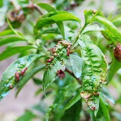 Choroby: Je kučeravosť broskýň katastrófa pre strom? Agriculture Biologique, Hibiscus, Plant Leaves, Questions, Blog, Gardens, Natural Treatments, Vegetable Gardening, Leaves