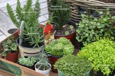 Wee Garden, plants and planting miniature gardens, miniature garden, fairy garden Fairy Garden Plants, Mini Fairy Garden, Garden Terrarium, Gnome Garden, Fairy Gardening, Garden Path, Miniature Plants, Miniature Fairy Gardens, Miniature Fairies