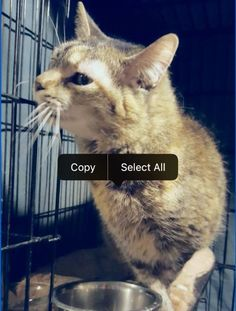 Envy is an adoptable Domestic Short Hair searching for a forever family near Saco, ME. Use Petfinder to find adoptable pets in your area.