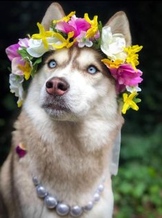 Beautiful Wild Flower Crown - Creamy White Roses mixed with Yellow and Purple florals - Spring Bridal Festival - The Retro Flamingo Schöne Wild Flower Cute Dogs Breeds, Cute Dogs And Puppies, Pet Dogs, Dog Breeds, Doggies, Cute Baby Animals, Animals And Pets, Funny Animals, Funny Dogs