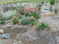 Establishing a mixed shelter belt. The sedums are great for attracting bees.