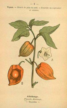 """vintage illustration. Chinese lantern plant, Physalis alkekengi, from Paul Hariot's """"Atlas colorié des plantes médicinales indigènes,"""" publi..."""