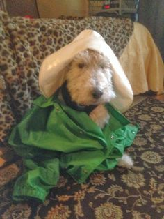 Bailey, our wire fox terrier, on St. Patrick's Day (March, 2014) in Canton, GA