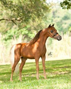 miniature horses  Oak Bay Extreme Possibility