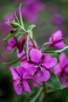 River Beauty By Ron Perkins Purple Flowers