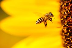 Macro Photography Bee at Flower   #desktop #wallpapers #photography #nature #photos #beautiful #bee #closeup #Flower #insect #macro #yellow Honey Pictures, Bee Pictures, Honey Images, Best Flowers For Bees, Amazing Flowers, Close Up Photography, Macro Photography, Wildlife Photography, Insects
