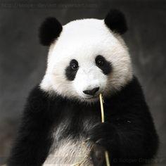 Panda by Sooper-Deviant