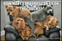 ♡ only a staffy