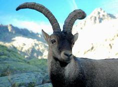 The Pyrenean Ibex has one of the more interesting stories among extinct animals, since it was the first species to ever be brought back by Rose of Sharon Extinct And Endangered Animals, Endangered Species, Rare Animals, Mundo Animal, Animal Kingdom, Tortoise, Habitats, Goats, Nature
