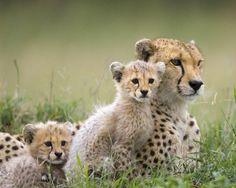 Stunning Picz: Cheetah Family