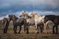 """Photographing Wild Horses Has Left Me In Peace."" - Carina Maiwald - Wild Horses of Bosnia All The Pretty Horses, Beautiful Horses, Animals Beautiful, Cute Animals, Quarter Horses, Clydesdale, Draft Horses, Blue Roan, Arte Equina"