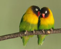 A lovebird is one of nine species of the genus Agapornis. They are a social and affectionate small parrot. Eight species are native to the African continent, and the grey-headed lovebird is native to Madagascar.  Scientific name: Agapornis Lifespan: 10 – 15 years Clutch size: 4 – 6 Rank: Genus Length: 13 – 17 cm (Adult) Lower classifications: Rosy-faced lovebird, Fischer's lovebird...
