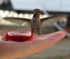 5 Steps to Feeding a Hummingbird by Hand #hummingbird #dan330 http://livedan330.com/2015/03/30/5-steps-to-feeding-a-hummingbird-by-hand/