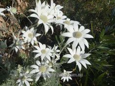 Actinotus helianthi x light frost tolerant, drought resistant, short lived plant Flannel Flower, Small Shrubs, Australian Plants, Plant Species, Dream Houses, Garden, Frost, Flowers, Painting