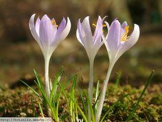 Herbář Wendys - Crocus tommasinianus - šafrán Tommasiniho Plants, Plant, Planting, Planets