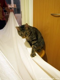 A cat fond of  fresh laundry :)