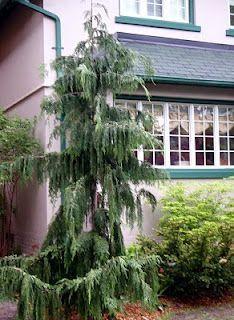 Weeping Alaskan False Cypress Xanthocyparis Nootkatensis Pendula Zone 4 7 Height 20 35 Ft S Weeping Evergreen Trees Evergreen Garden Landscape Curbing