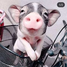 20 Photogenic Animals That Know How To 'Strike A Pose' The Animals, Cute Little Animals, Cute Funny Animals, My Animal, Cutest Animals, Cute Baby Pigs, Cute Piglets, Mini Pigs, Pet Pigs