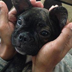 Witto nugget face (3 month old) ❤️ Mr Milobutt, French Bulldog Puppy, #Milobutt #フレンチブルドッグ #flashbackfriday