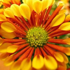 """Spoon petal chrysanthemum  a key concept very closely related to the Fibonacci sequence: the golden ratio. You see, each number of the Fibonacci sequence divided by the previous number (for example, 2/1, 3/2, 5/3, 8/5, 13/8, etc.) will result in a """"quotient"""" that, as the numbers increase, gets closer and closer to a """"golden ratio"""" of approximately 1.6180339887. The proportions relating to this golden number have long been seen as being aesthetically pleasing,"""