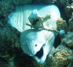 slender giant moray eel in the DO Diving, Stuff To Do, Fish, Pets, Animals, Animales, Scuba Diving, Animaux, Animal
