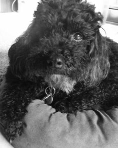 Miniature poodles. 8 year old lazy dog.