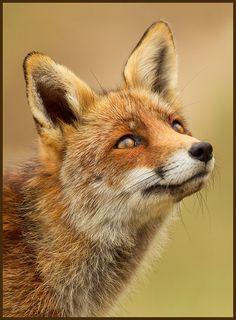 """""""Self-Satisfied Fox"""" by Hennie van Heerden"""
