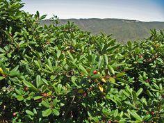 Frangula (Rhamnus) californica, coffeeberry, in habitat in Pacifica, California