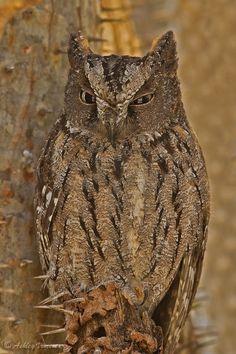 """""""Male Malagasy Owl"""" Madagascar Scops Owl by Ashley Vincent via 500px"""