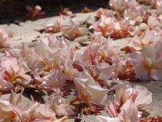fallen oleander blos