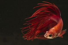 Looks a little bit like a grown-up Roxi. <3 Only this is a boy. And he has bigger fins. And she's whiter.