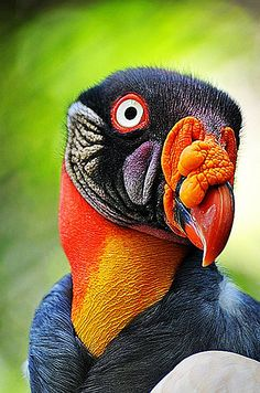 King Vulture #ugly animals