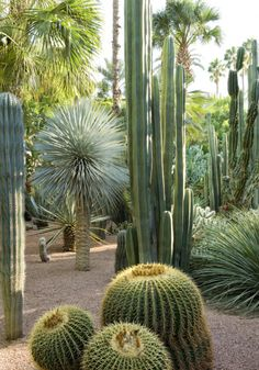 Tropical Garden Jardin Majorelle Marrakech-- tall with over story of leaves makes blue greens of catcus look oddly lush.Tropical Garden Jardin Majorelle Marrakech-- tall with over story of leaves makes blue greens of catcus look oddly lush
