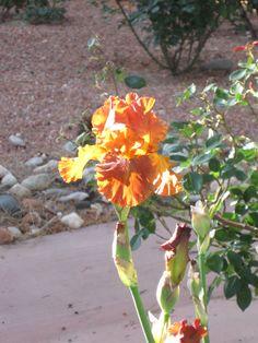 Fiery orange iris