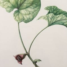 And now the Asarum canadense has just popped out from the ground! I painted this wild ginger several years ago but it is found in a… Wild Ginger, Forest Plants, Pop Out, Botanical Art, Flower Art, Watercolor Art, Henna, Watercolors, Flowers