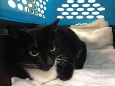 PRINCESS - A1042876 - - Manhattan  ***TO BE DESTROYED 07/10/15*** PRINCESS IS A 6 MONTH OLD KITTEN WHO LANDED IN THE SHELTER WHEN HER OWNER WAS EVICTED. NOW PRINCESS WILL DIE BECAUSE SHE IS AFRAID. PRINCESS has 4 housemate that came in with her the other day when her owner was evicted. Sadly, this poor kitten doesn't know what happened to her home and owner and is frightened. She did get an EXPNOCHILD rating for allowing petting and handling but even the ACC said she