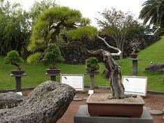pine bonsai | Flickr - Photo Sharing!
