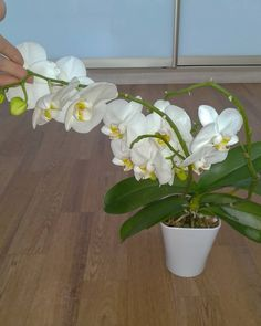 """Добрый день!😘 Мой фаленопсис """"Амабилис"""" Phal.""""Amabilis""""🥰🌺 белый с пурпурными точками и черточками нежной насищенности😍👌 цветонос… Instagram Posts, Flowers, Plants, Orchids, Plant, Royal Icing Flowers, Flower, Florals, Floral"""