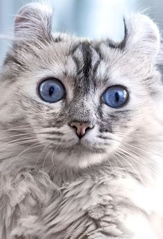 The American Curl cat is small, graceful and lean with extraordinary curled ears and an exceptional, affectionate and people-loving personality.