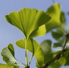 A Ginko tree.