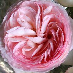 Rosenglück { g a r d e n } einer meiner Lieblinge im Garten .. wenn sie blühen bin ich im Glück ❤️❤️#rosen#garten #garden #blumen#flowers#binimglück#